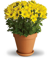 Sweet as a Daisy<br>Teleflora from Inglis Florist in Tucson, AZ